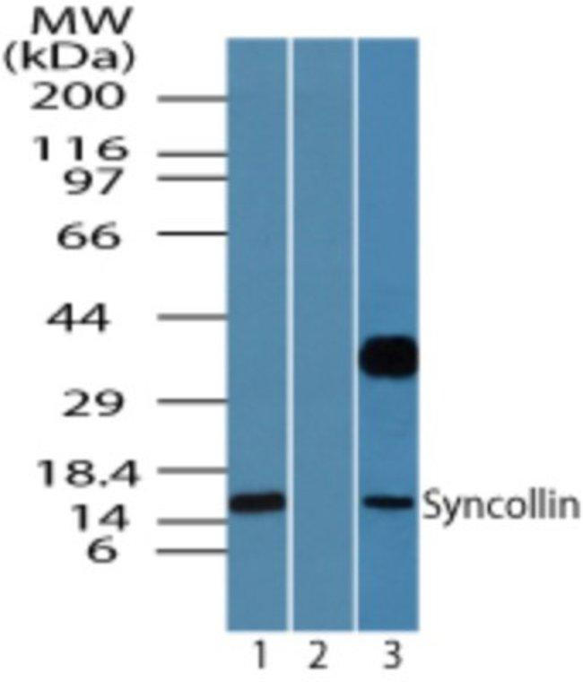 anti-Syncollin, Polyclonal, Novus Biologicals:Antibodies:Primary Antibodies
