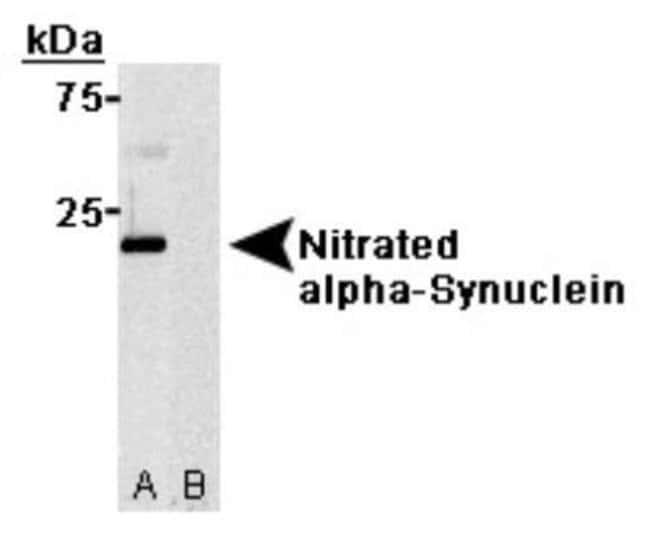 anti-Synuclein-alpha (Nitrate Tyr125, Nitrate Tyr133), Clone: 24.8, Novus