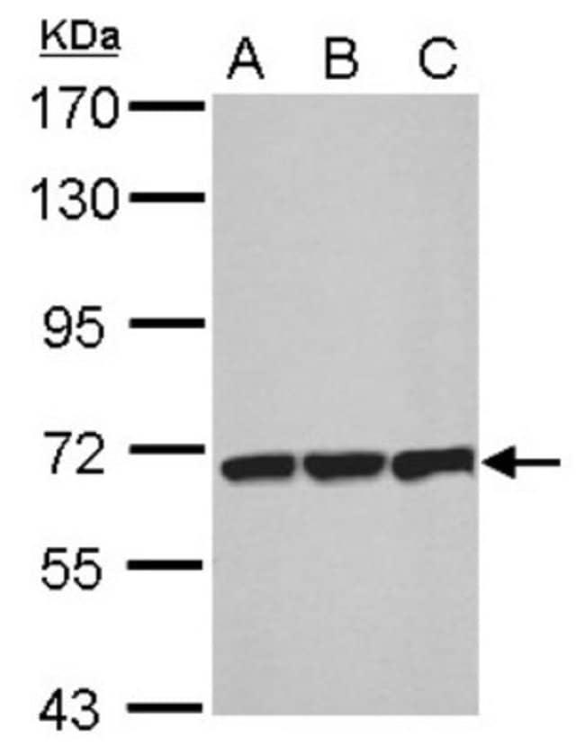 anti-T Plastin, Polyclonal, Novus Biologicals 0.1mL; Unlabeled:Antibodies