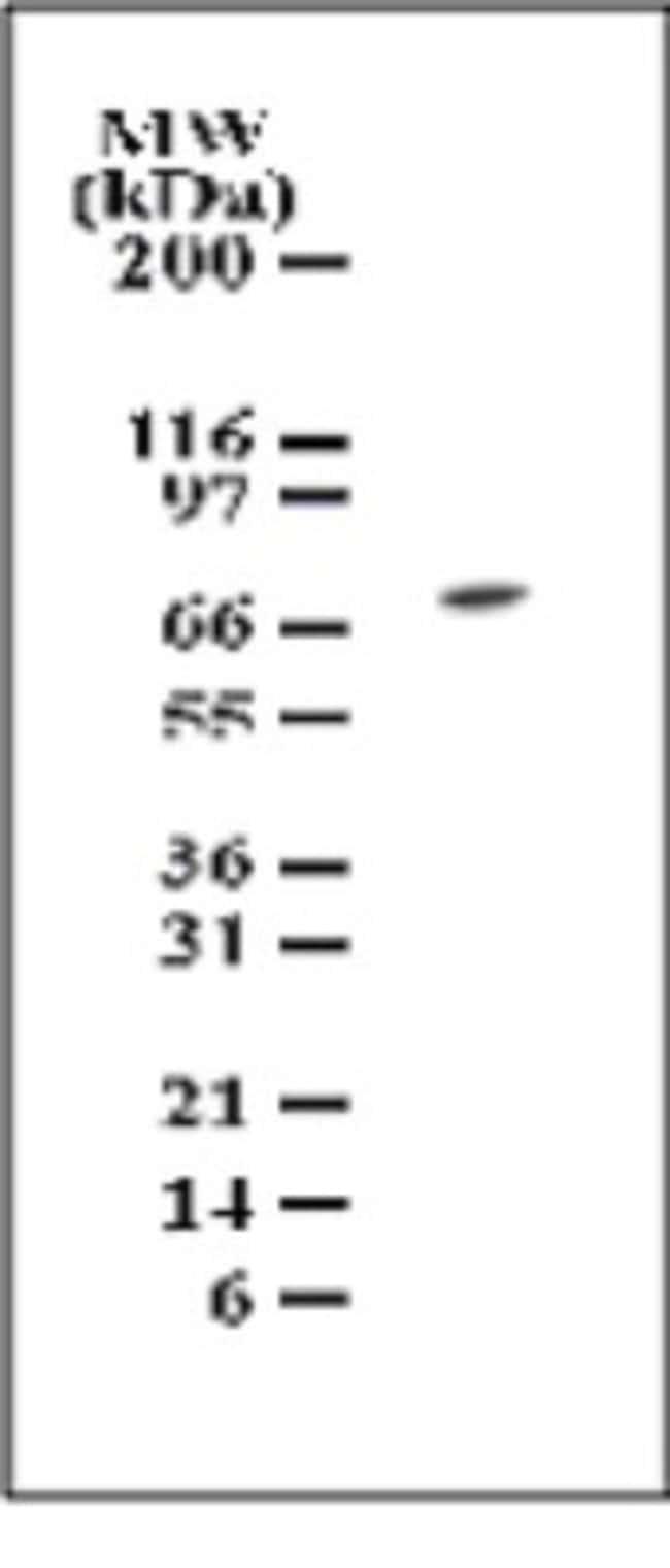 anti-TAK1, Polyclonal, Novus Biologicals:Antibodies:Primary Antibodies