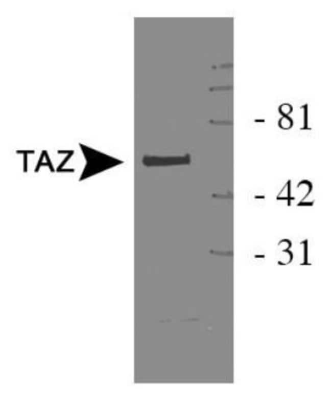 anti-TAZ/WWTR1, Polyclonal, Novus Biologicals:Antibodies:Primary Antibodies