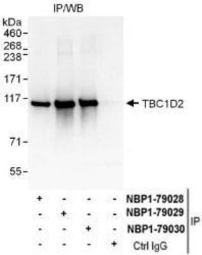 anti-TBC1D2, Polyclonal, Novus Biologicals 0.1mg; Unlabeled:Life Sciences