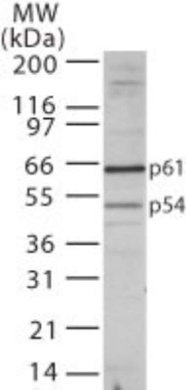 anti-TBLR1, Polyclonal, Novus Biologicals:Antibodies:Primary Antibodies
