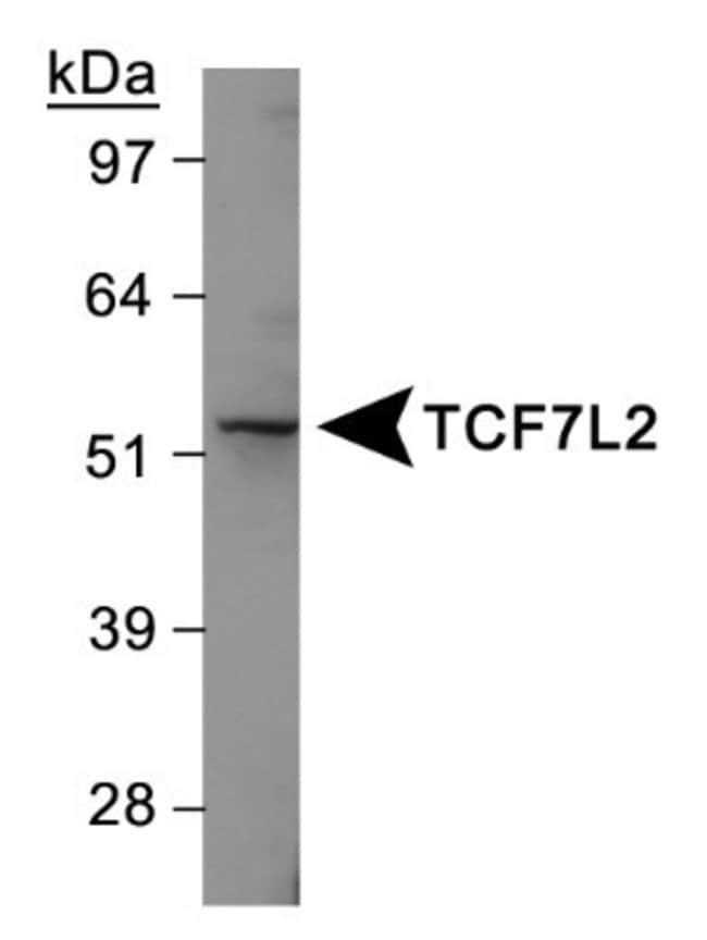 anti-TCF7L2, Polyclonal, Novus Biologicals:Antibodies:Primary Antibodies