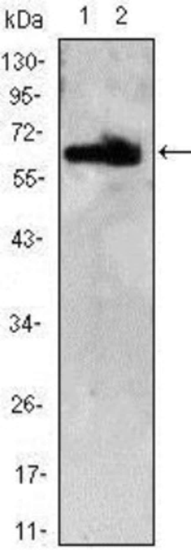 anti-Th-POK, Clone: 7C12, Novus Biologicals 0.1mL; Unlabeled:Antibodies