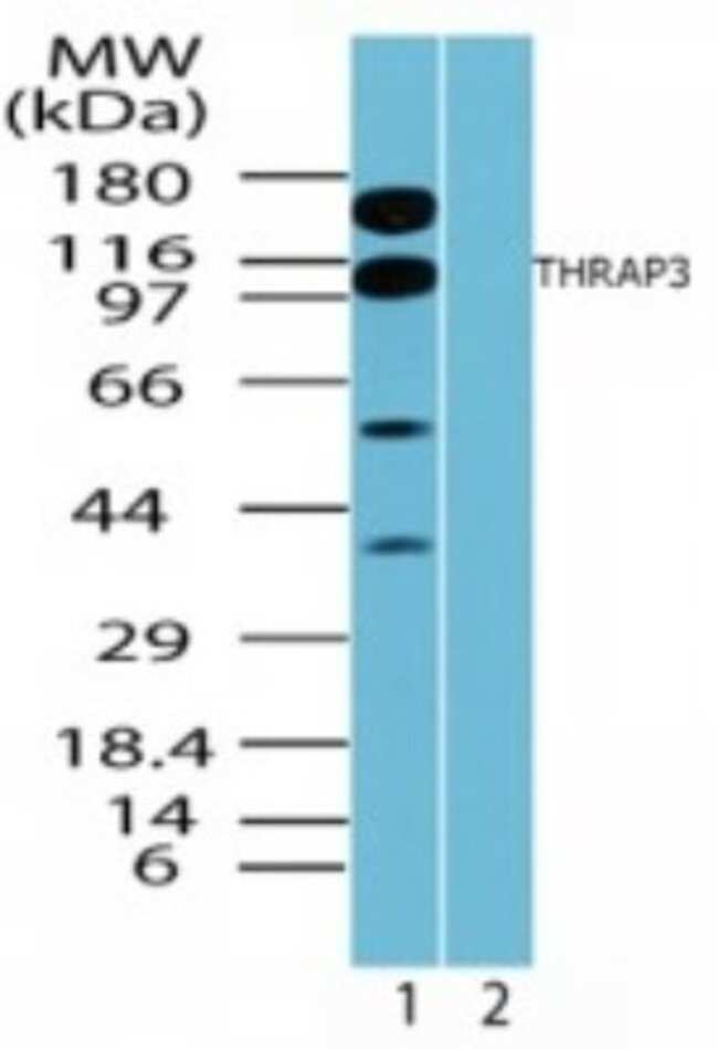 anti-THRAP3, Polyclonal, Novus Biologicals:Antibodies:Primary Antibodies