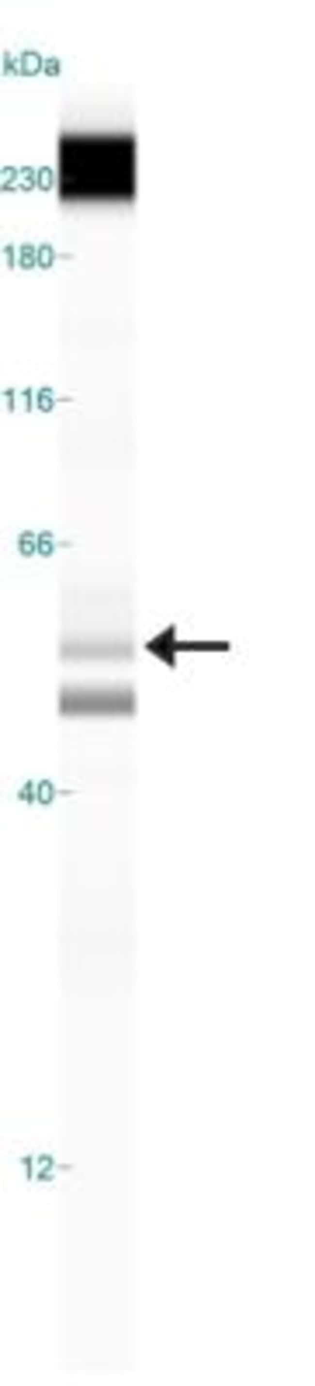 anti-TIP60, Polyclonal, Novus Biologicals:Antibodies:Primary Antibodies
