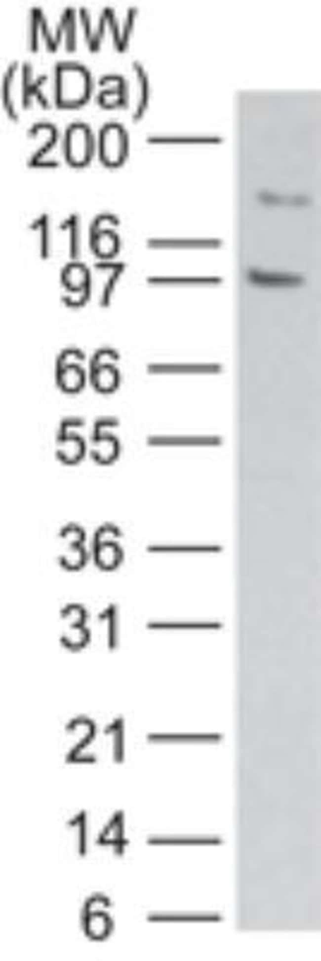 anti-TLR11, Polyclonal, Novus Biologicals:Antibodies:Primary Antibodies