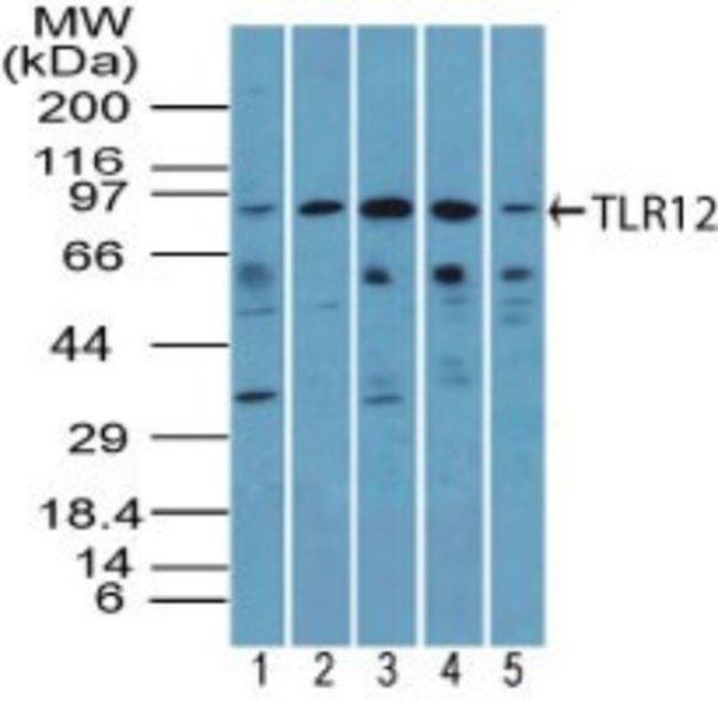 anti-TLR12, Polyclonal, Novus Biologicals:Antibodies:Primary Antibodies