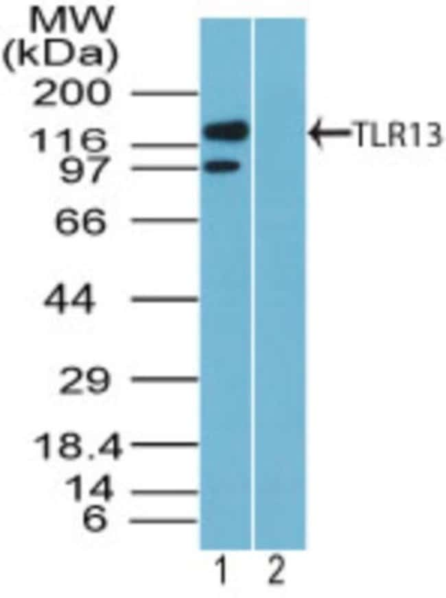 anti-TLR13, Polyclonal, Novus Biologicals:Antibodies:Primary Antibodies