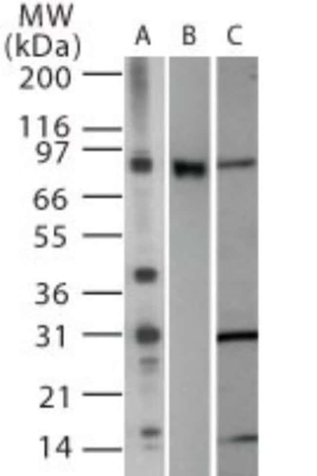 anti-TLR2, Polyclonal, Novus Biologicals:Antibodies:Primary Antibodies
