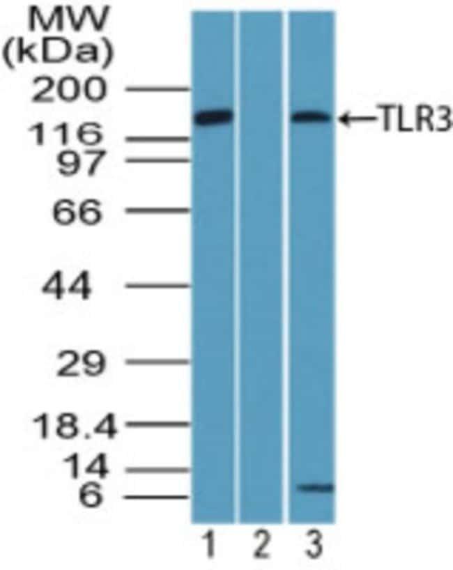 TLR3 Rabbit anti-Human, Mouse, Polyclonal, Novus Biologicals:Antibodies:Primary