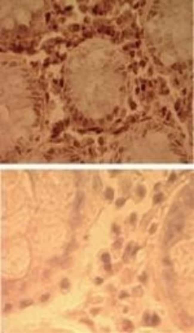 anti-TLR7, Polyclonal, Novus Biologicals:Antibodies:Primary Antibodies