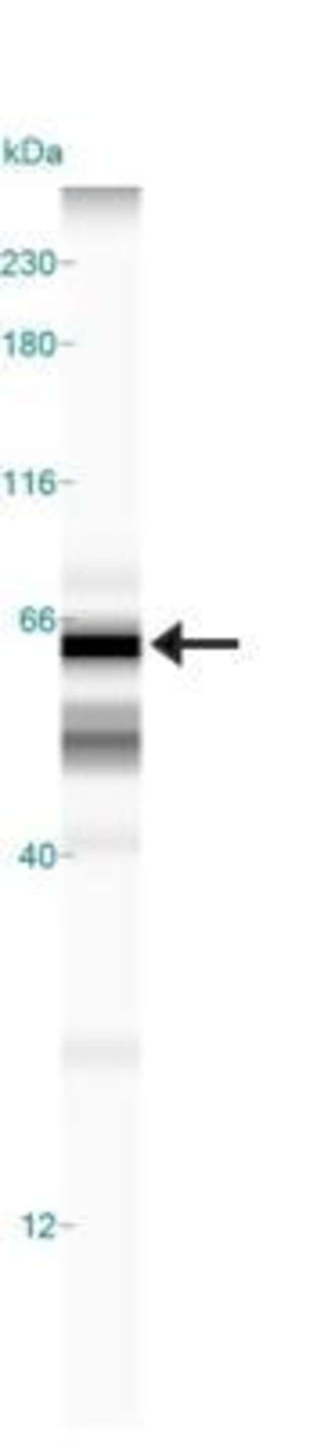 anti-TOM70, Polyclonal, Novus Biologicals:Antibodies:Primary Antibodies