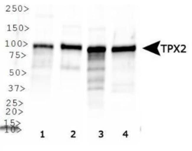 anti-TPX2, Polyclonal, Novus Biologicals:Antibodies:Primary Antibodies