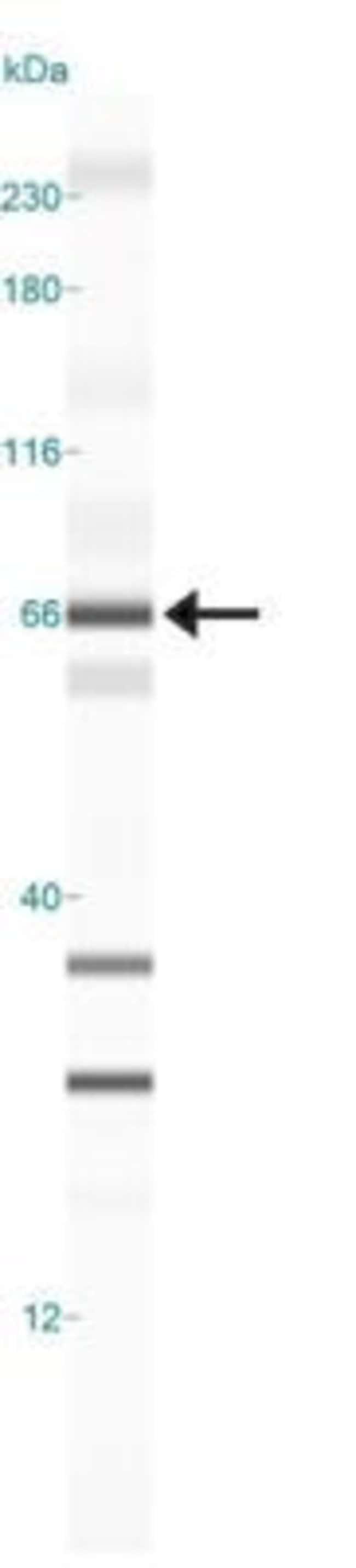 anti-TRAF3IP2, Polyclonal, Novus Biologicals:Antibodies:Primary Antibodies