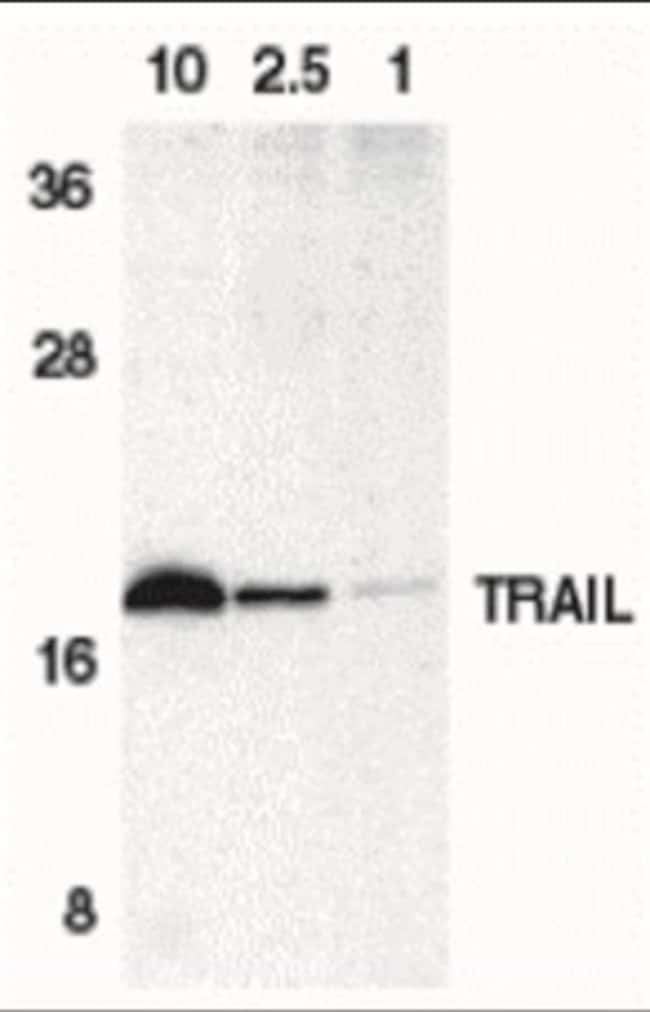 anti-TRAIL/TNFSF10, Polyclonal, Novus Biologicals:Antibodies:Primary Antibodies