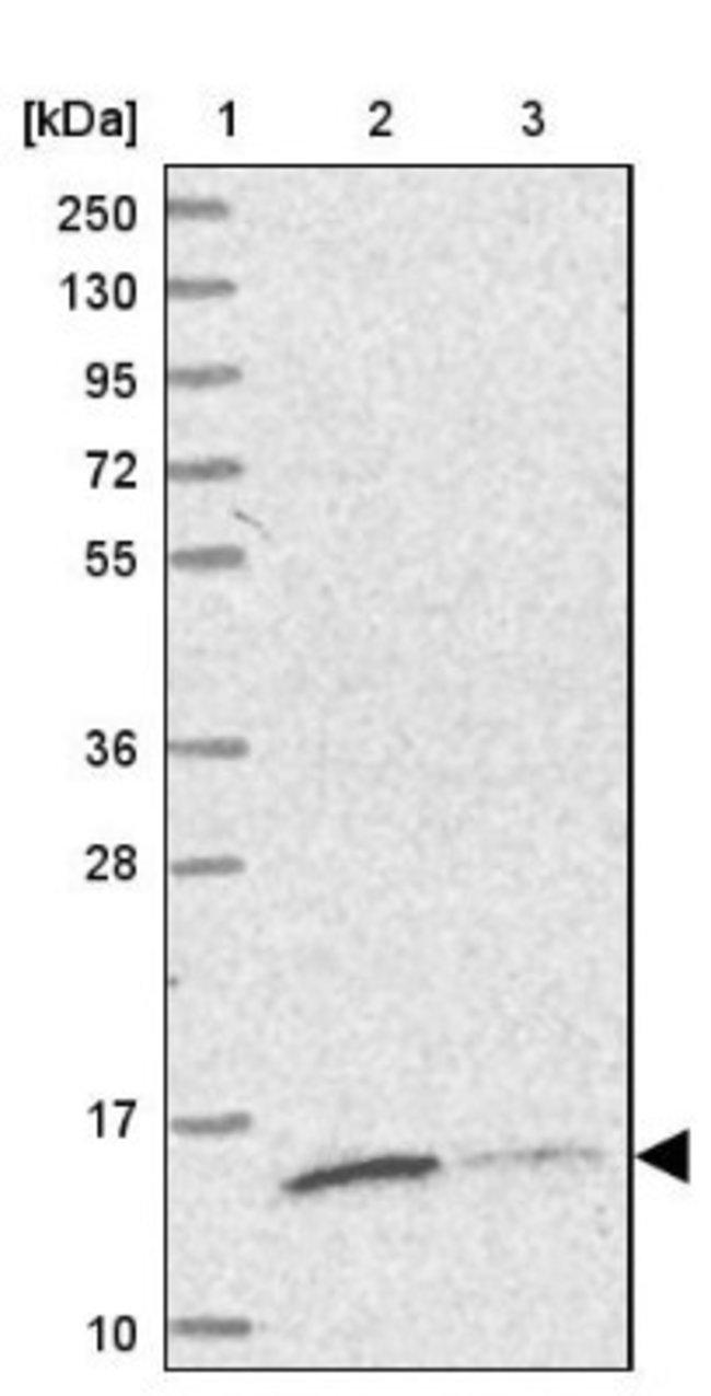 anti-TRAPPC2L, Polyclonal, Novus Biologicals 0.1mL; Unlabeled:Life Sciences