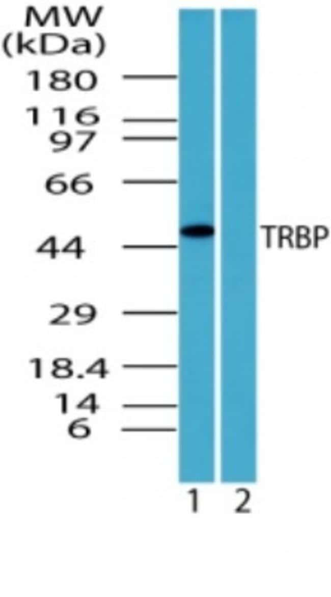 anti-TRBP, Polyclonal, Novus Biologicals:Antibodies:Primary Antibodies