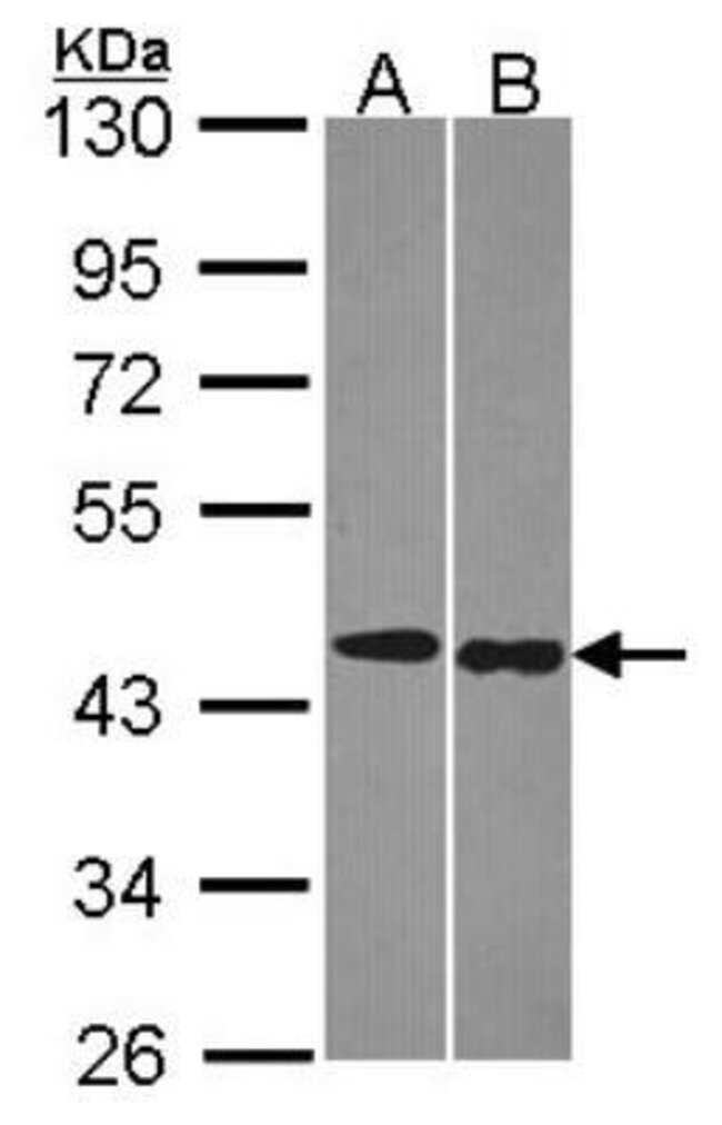 anti-TRF-1, Clone: 8A5, Novus Biologicals 0.1mg; Unlabeled:Life Sciences