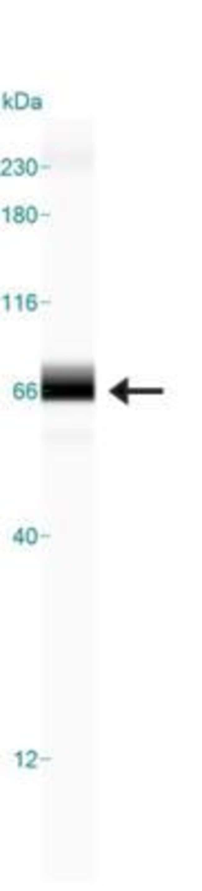 anti-TRF-2, Polyclonal, Novus Biologicals:Antibodies:Primary Antibodies