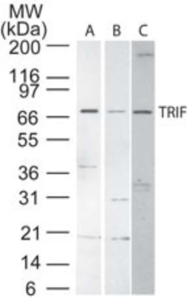 anti-TRIF/TICAM1, Polyclonal, Novus Biologicals:Antibodies:Primary Antibodies