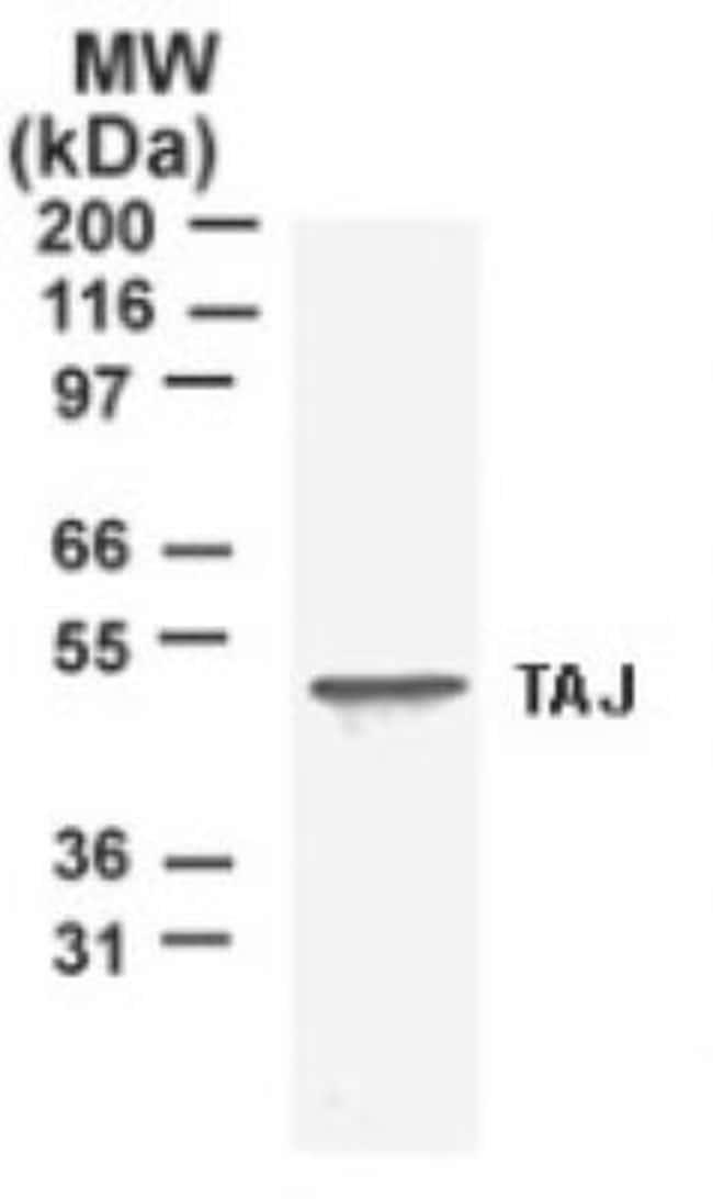 anti-TROY/TNFRSF19, Polyclonal, Novus Biologicals:Antibodies:Primary Antibodies