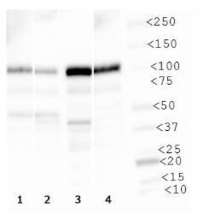anti-Vanilloid R1/TRPV1, Polyclonal, Novus Biologicals:Antibodies:Primary