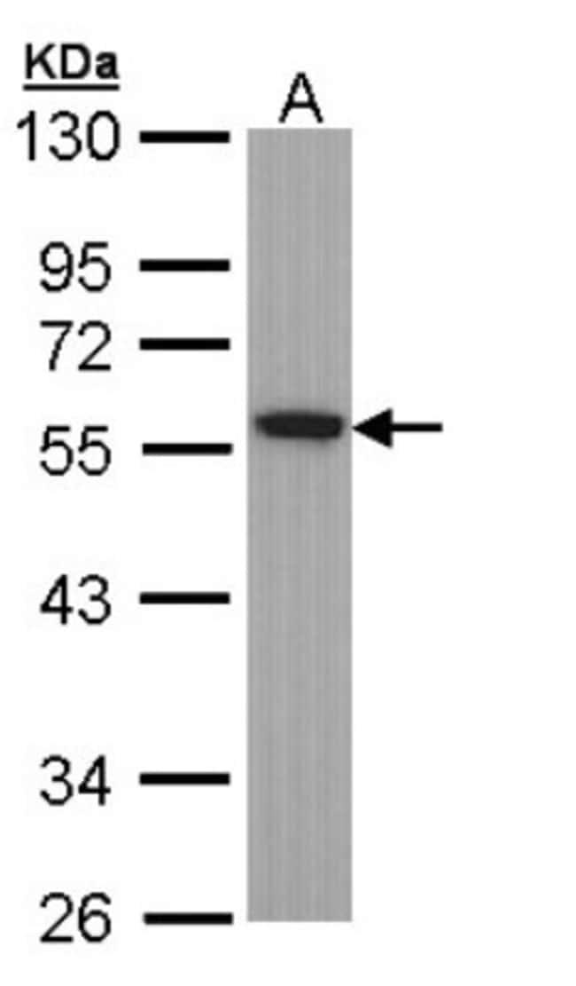 Tubulin alpha-1B Rabbit anti-Human, Mouse, Rat, Polyclonal, Novus Biologicals