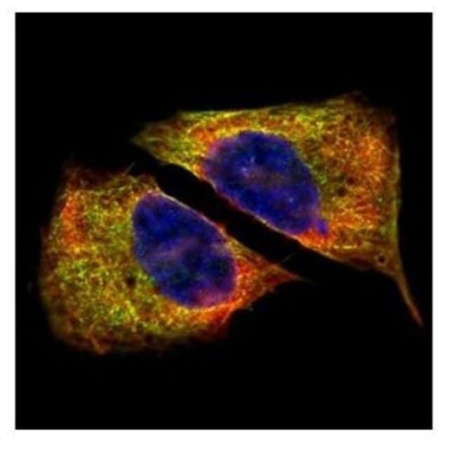 anti-Tubulin Beta 4, Polyclonal, Novus Biologicals 0.1mL; Unlabeled:Life