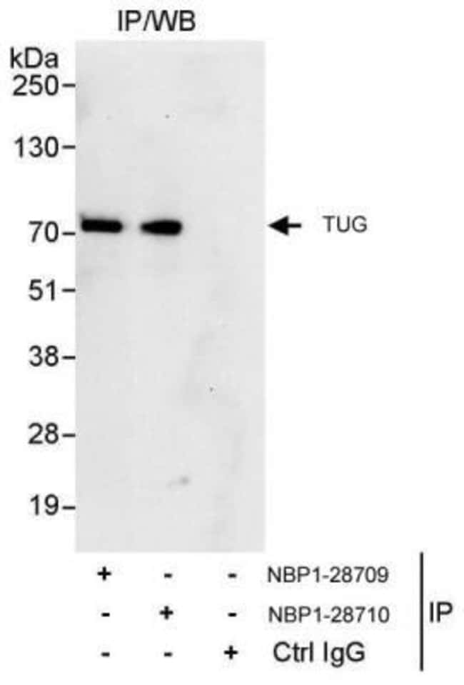 anti-TUG, Polyclonal, Novus Biologicals 0.1mg; Unlabeled:Antibodies