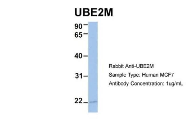 UBE2M/Ubc12 Rabbit anti-Human, Mouse, Polyclonal, Novus Biologicals 100µL;