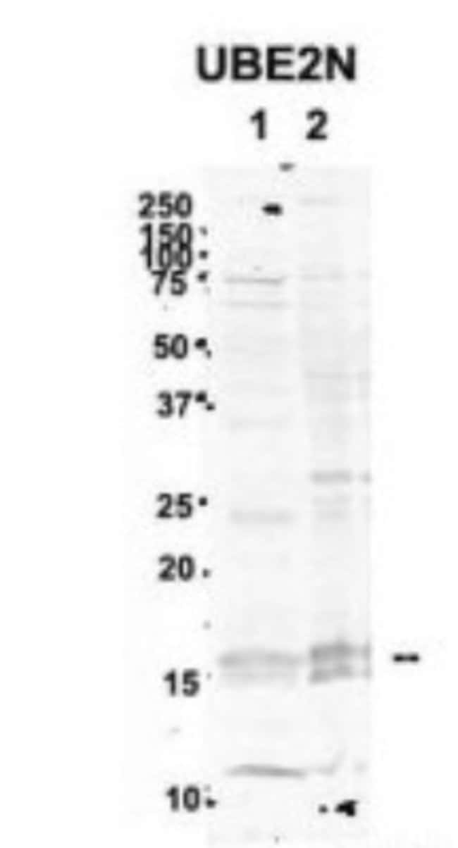UBE2N/Ubc13 Rabbit, Polyclonal, Novus Biologicals 100µL; Unlabeled:Life
