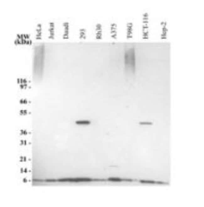 anti-Ubiquitin, Polyclonal, Novus Biologicals:Antibodies:Primary Antibodies