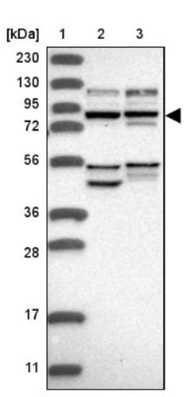 anti-USP1/UAF1 Complex, Polyclonal, Novus Biologicals 0.1mL; Unlabeled:Life