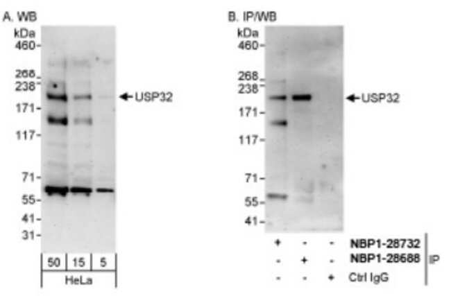 anti-USP32, Polyclonal, Novus Biologicals 0.1mL; Unlabeled:Antibodies