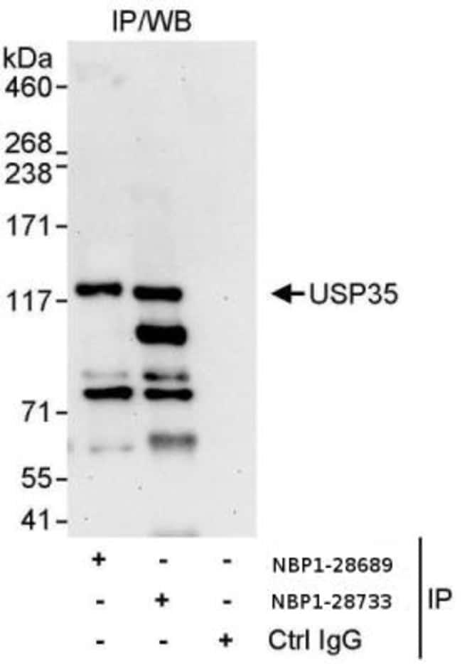 anti-USP35, Polyclonal, Novus Biologicals 0.1mg; Unlabeled:Life Sciences