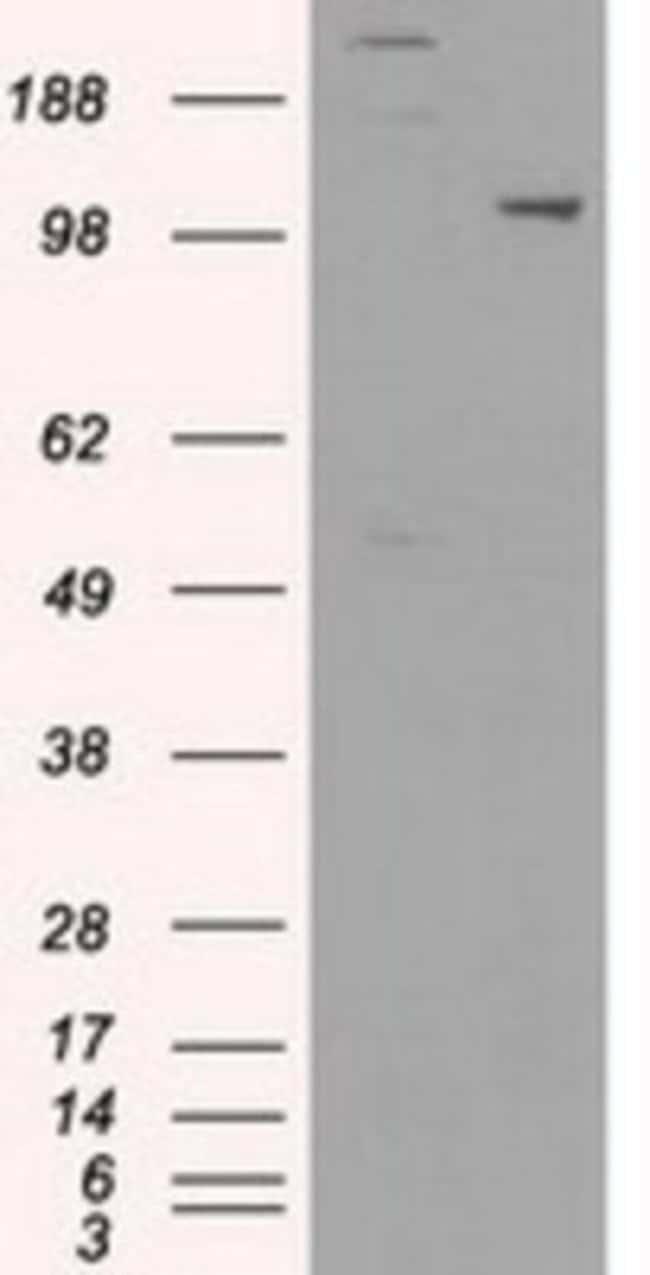USP38 Mouse anti-Human, Canine, Clone: OTI1D11, Novus Biologicals 0.1mL;