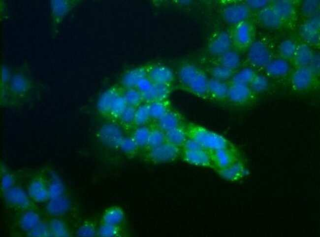 anti-USP9x, Polyclonal, Novus Biologicals:Antibodies:Primary Antibodies