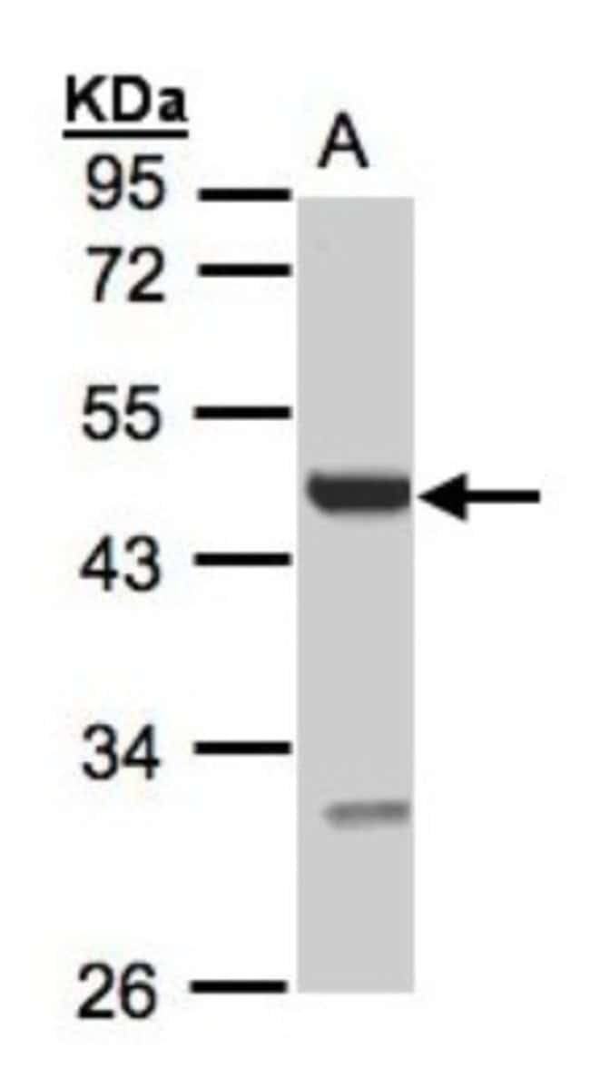 anti-UST, Polyclonal, Novus Biologicals 0.1mg; Unlabeled:Life Sciences