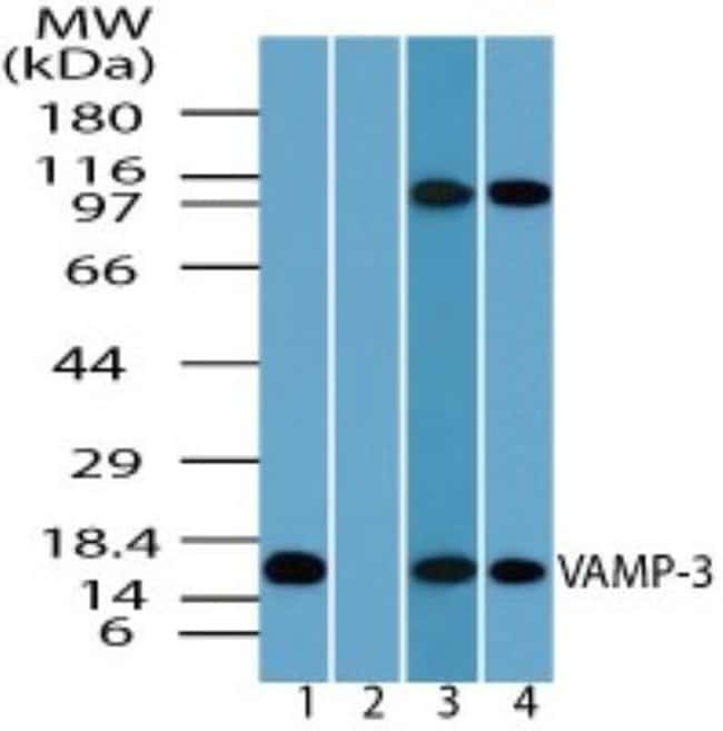 anti-VAMP3/Cellubrevin, Polyclonal, Novus Biologicals:Antibodies:Primary