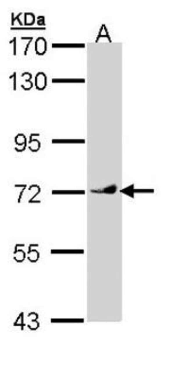 anti-Vang-like Protein 1/VANGL1, Polyclonal, Novus Biologicals 0.1mL; Unlabeled:Life