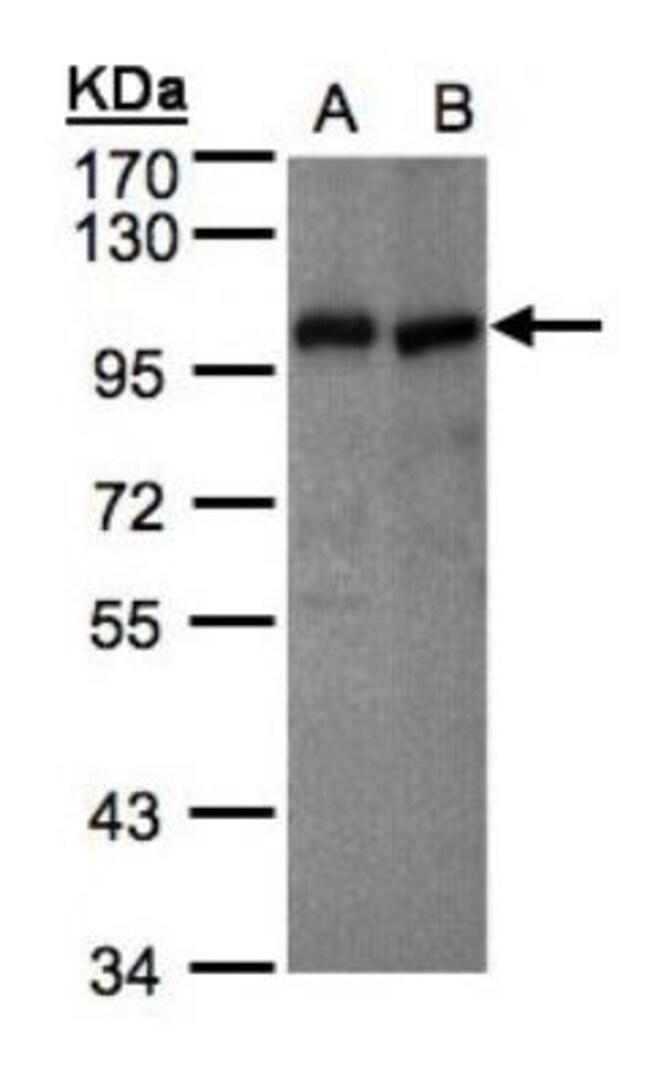 anti-Vav-1, Polyclonal, Novus Biologicals 0.1mL; Unlabeled:Life Sciences