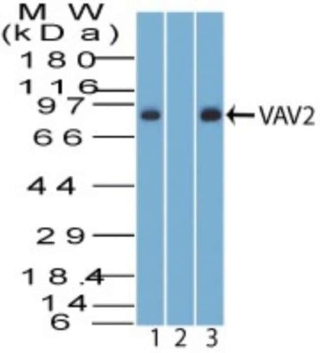 anti-VAV2, Polyclonal, Novus Biologicals:Antibodies:Primary Antibodies