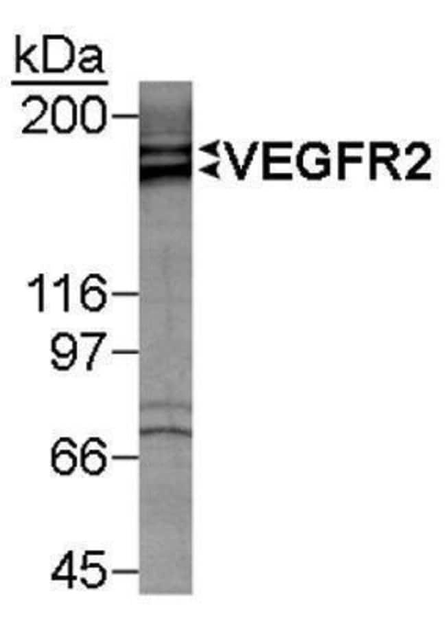 anti-VEGF R2/KDR/Flk-1, Polyclonal, Novus Biologicals:Antibodies:Primary