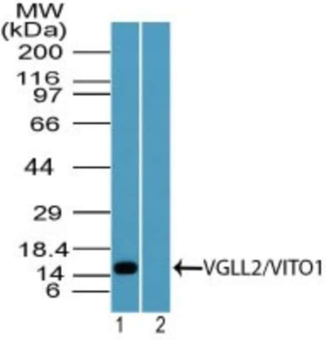 anti-VGLL2, Polyclonal, Novus Biologicals:Antibodies:Primary Antibodies