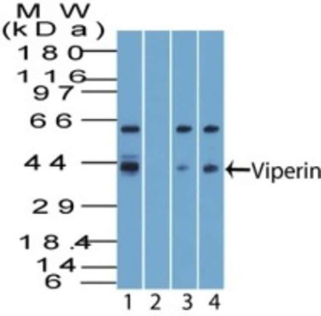 anti-Viperin, Polyclonal, Novus Biologicals:Antibodies:Primary Antibodies