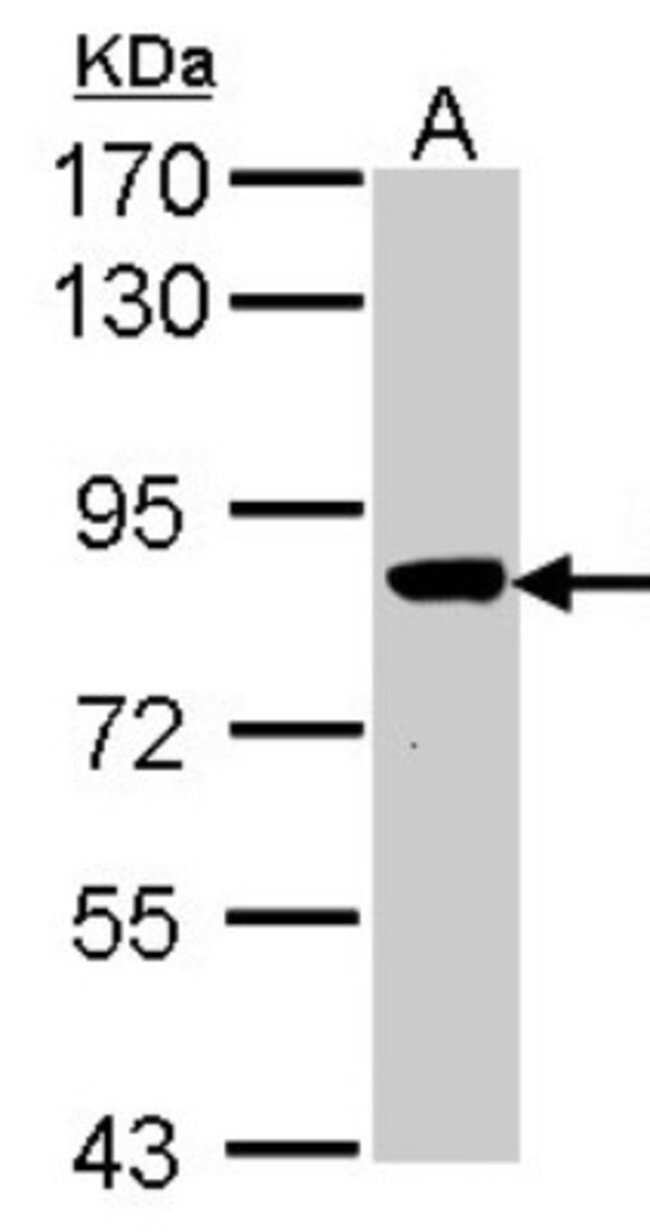 anti-VPS16, Polyclonal, Novus Biologicals 0.1mL; Unlabeled:Life Sciences