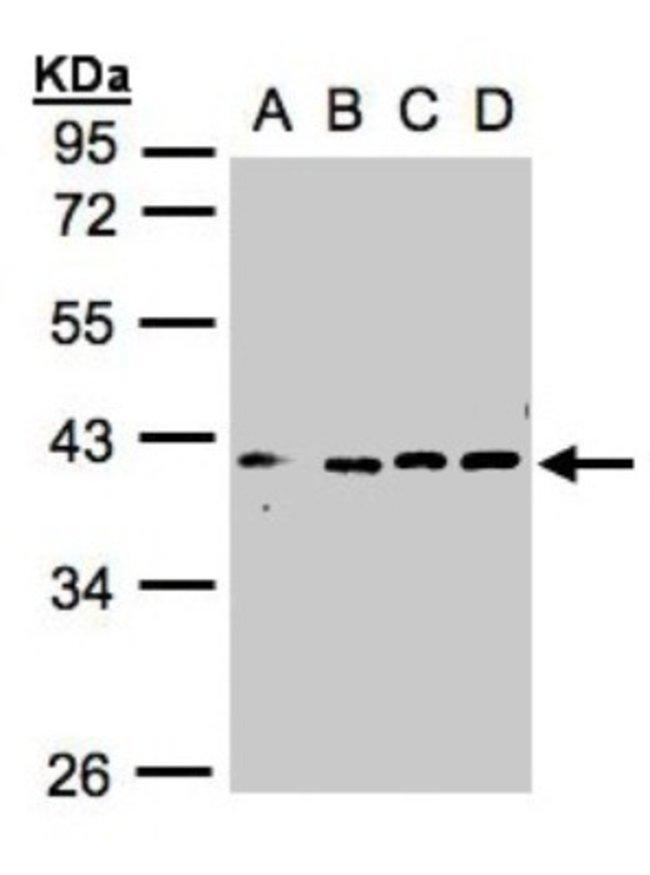 anti-VPS26, Polyclonal, Novus Biologicals 0.1mL; Unlabeled:Life Sciences