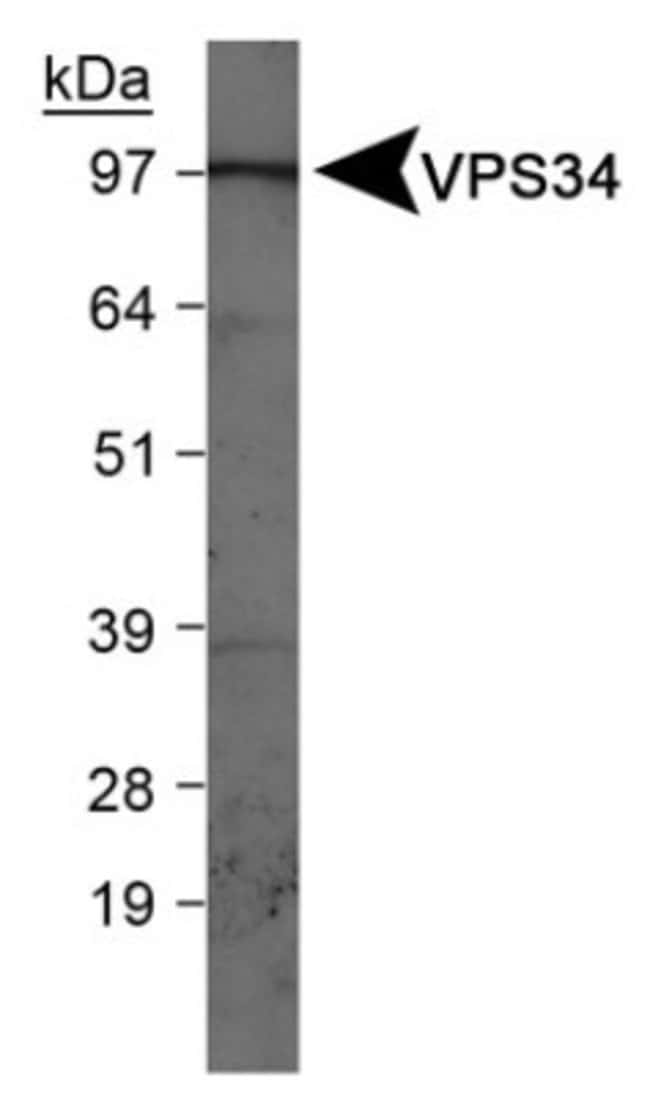 anti-VPS34, Polyclonal, Novus Biologicals:Antibodies:Primary Antibodies